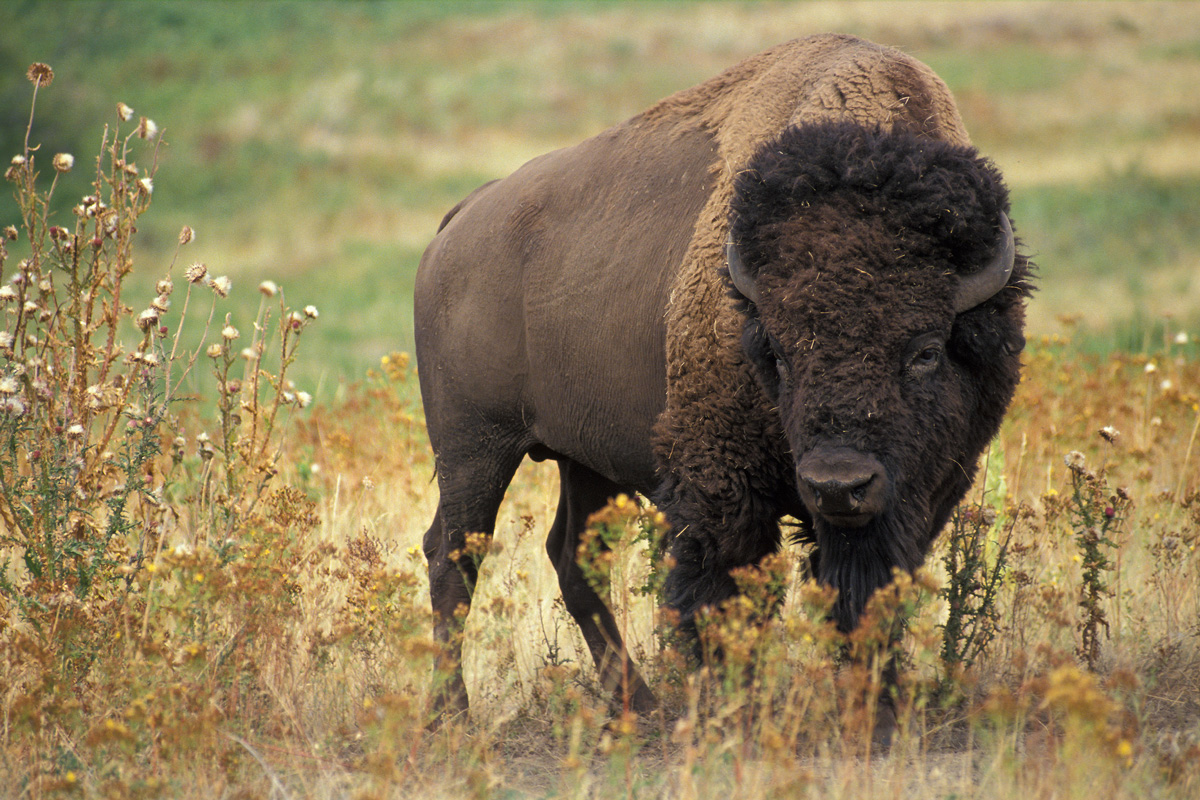 The American Buffalo and Parking Regulations?
